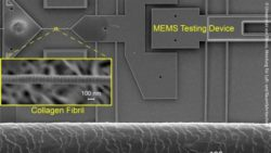 Image: A collagen fibril mounted on a MEMS mechanical testing device. At the bottom is a single human hair for size comparison; Credit: University of Illinois Department of Aerospace Engineering