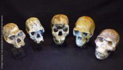 Image: Evolution in skulls; Copyright: Roger Seymour. Casts photographed in the South Australian Museum