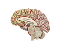 Graphic: Illustration of the brain