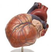 Photo: A model of a heart