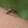 Genetically Engineered Mosquitoes Against Malaria