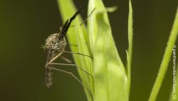 Image: Malaria mosquito sitting on a leaf; Copyright: panthermedia.net/Gucio_55