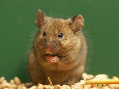 Photo: Brown Mouse