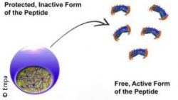 Image: A protected, inactive form of the peptide on the left, and a free, active form of the peptide on the right side; Copyright: Empa