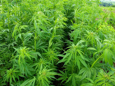 Photo: Marijuana plants