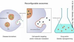 Image: Graphic of how the exosomes can be produces; Copyright: Dr Marta I. Oliveira, INL, Portugal