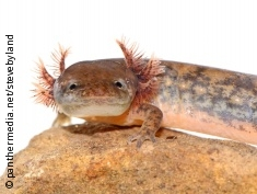 Photo: A newt with gills