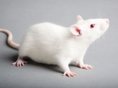 Photo: White rat