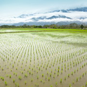 Photo: Rice plantation