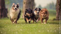 Image: a group of running dogs; Copyright: panthermedia.net/Madrabothair
