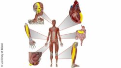 Image: 3D image showing a human being and his different muscles, which can be repaired using robotic muscles; Copyright: University of Bristol
