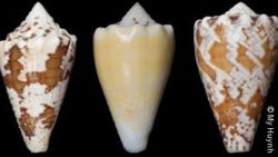 Image: three pictures of a brown and white and yellow white snails; Copyright: My Huynh