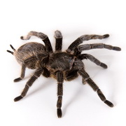 Photo: Tarantula