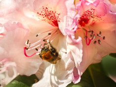 Photo: Rhododendron and a bee