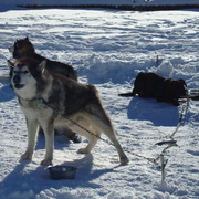 Photo: Huskies in the icy nature of Alaska