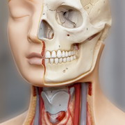 Photo: Anatomic Model