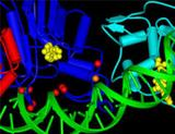 Photo: Structure of the Dnmt3a DNA methyl transferase