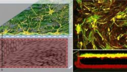 Image: microscope images of the human Blood-Brain Barrier-on-Chip; Copyright: Wyss Institute at Harvard University