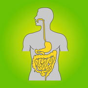 Photo: Gastro-intestinal tract