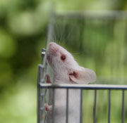 Picture: A white mouse