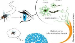 Image: illustration of the neural encoding process; Copyright: IST Austria/Birgit Rieger