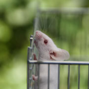 Picture: A mouse in a cage