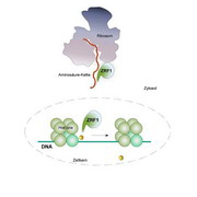 Photo: ZRF1 helps to regulate protein synthesis