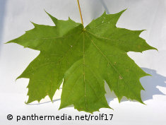 Photo: A green maple leaf