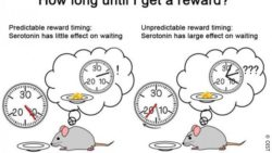Image: left: mouse waiting for a reward for a short time; right: mouse waiting for a long time ; Copyright: OIST