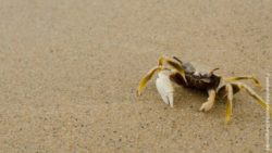 Image: A crab is running at a beach; Copyright: panthermedia.net/Wijuk Duangjomdee