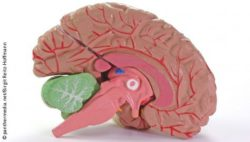 Photo: Anatomy teaching model of the human brain; Copyright: panthermedia.net/Birgit Reitz-Hoffmann