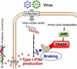 "Graphic: This image shows the AHR-mediated ""braking"" mechanism for the regulation of the antiviral IFN response."