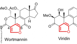 Image: chemical structure of furanosteroids-Structures of wortmannin and viridin; Copyright: The University of Tokyo